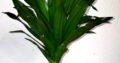 Junger Dracaena Drachenbaum Zierpflanze H ca. 60 cm