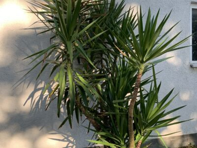 2 Yucca Palmen inkl. Topf
