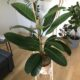 Ficus Benghalensis Roy