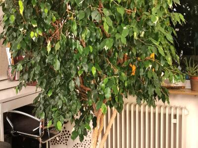 *** Benjamini Ficus, 2 m Zimmerpflanze ***
