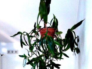 Pflanze Heilpflanze Goldbart Callisia Fragrans H ca. 120 cm