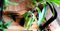 Pflanze Heilpflanze Goldbart Callisia Fragrans H ca. 100 cm