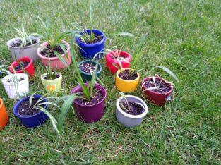 Grünlilie mit und ohne weissen Streifen Setzlinge