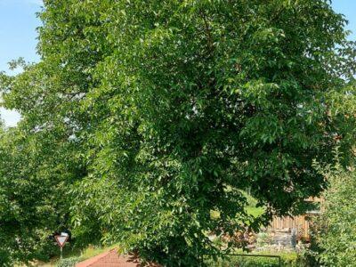 Nussbaum zum selbstfällen