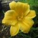 Goldgelbe zierliche Taglilie Stella d'Oro_Hemerocallis
