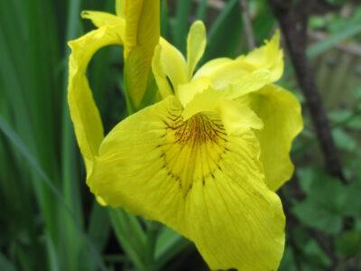 Wasser-Schwertlilie_Iris pseudacorus_Sumpfschwertlilie_gelb