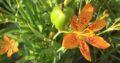 Leopardenblume Jungpflanze