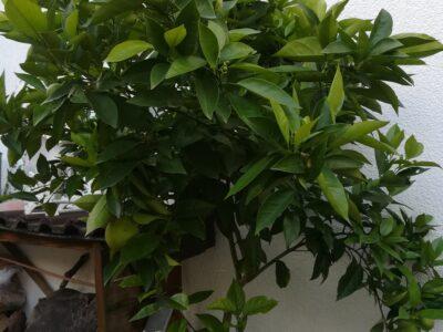 Wunderschöner Orangenbaum XXL