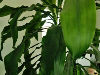 UMZUG 28.8. Drachenbaum Dracena Fragans Zimmerpflanze 2,30m