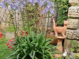 Agapanthus – Schmucklilie zu verkaufen
