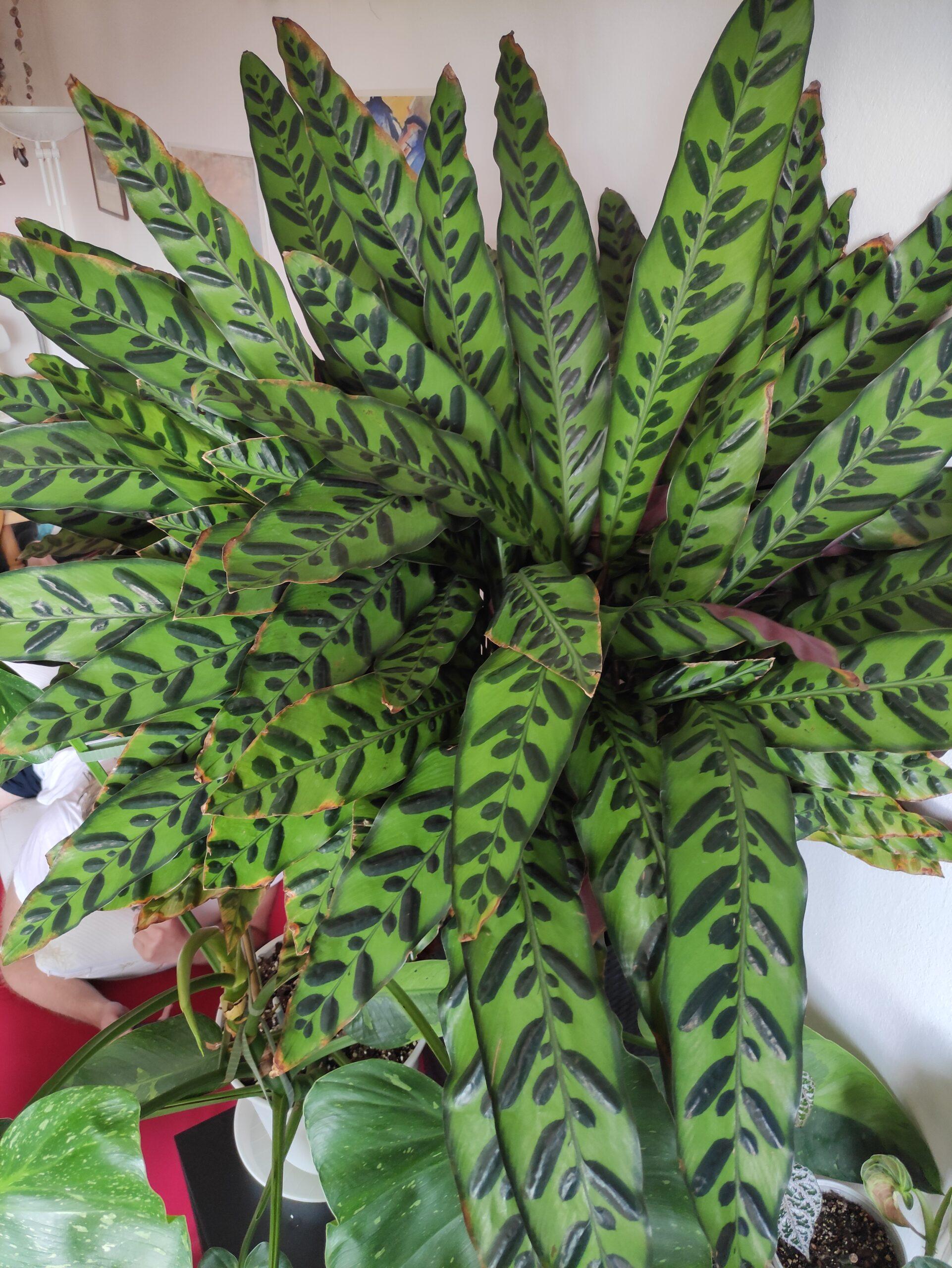 Calathea lancifolia Zimmerpflanze Korbmarante