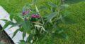 Schmetterlingsflieder violett budleja davidjii minpap