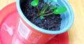 Pilea Ufopflanze Pfannkuchenpflanze Ableger
