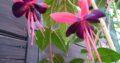 Fuchsia 'Lady Boothby', Kletter – Fuchsie 160 cm hoch