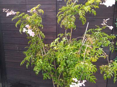 Rosa Trompetenwein, Podranea ricasoliana 180cm hoch