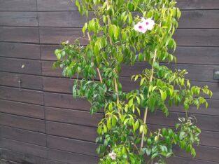 Pandorea jasminoides, Laubenwein, Jasmintrompete, 160cm hoch