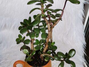 Affenbrotbaum Geldbaum
