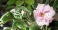 Usambaraveilchen LE-Leyla_panaschierte Blätter_Pflanze