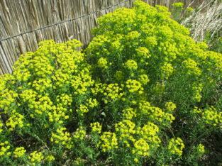 Zypressen-Wolfsmilch_Euphorbia cyparissias_1 Ableger