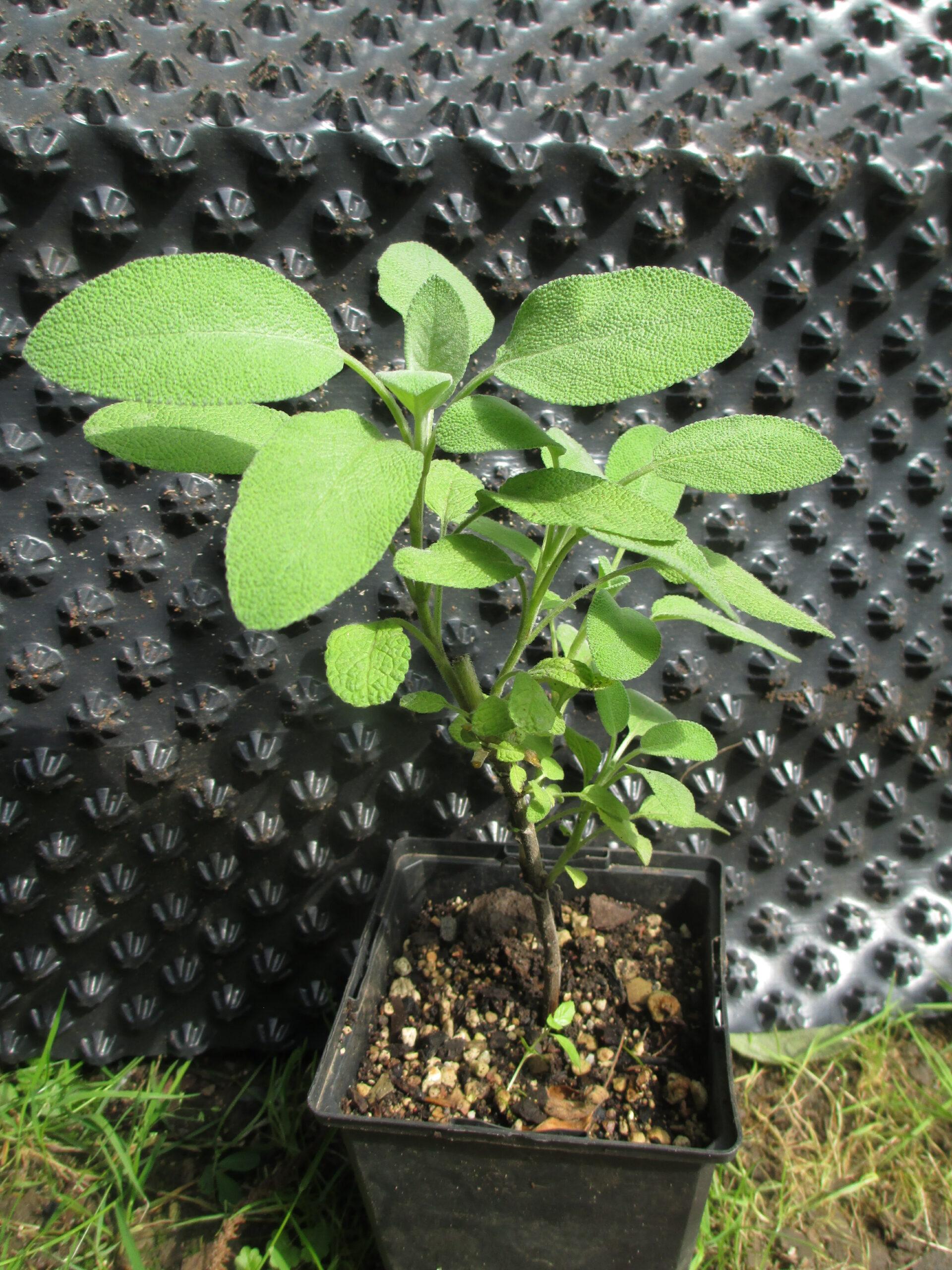 Salvia officinalis 'Berggarten'_Breitblättrig_Gewürz-Salbei