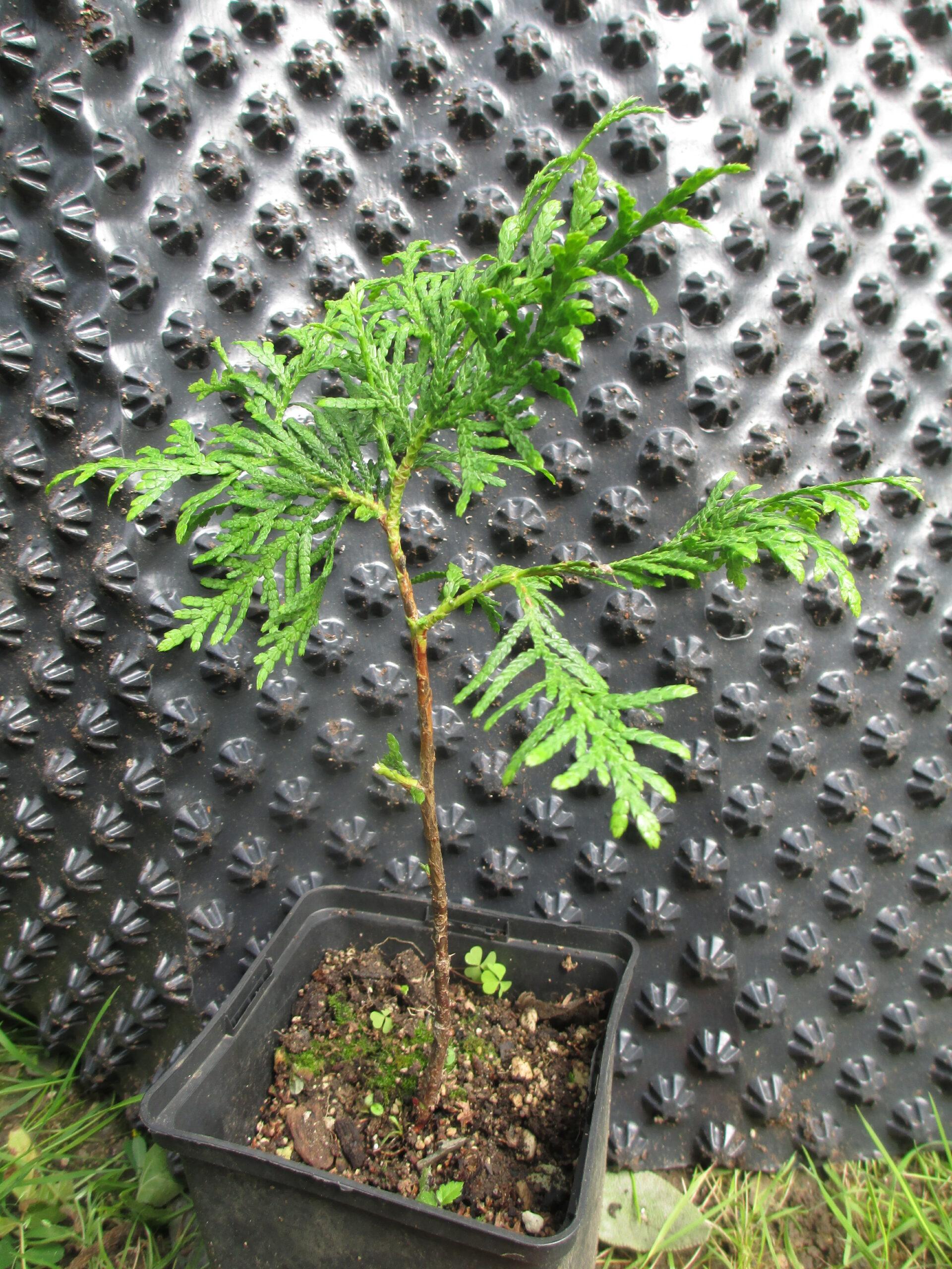 Thuja_Pre-Bonsai_Jungpflanze_Sämling_Jungbaum_auch f. Bonsai
