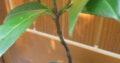 Kirschlorbeer_~ 24cm_Jungpflanze_Sämling_Findling_Pre-Bonsai