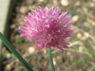 Schnittlauch_Allium schoenoprasum_1 Büschel /ca. 30 Pflanzen
