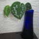 Philodendron scandens pictus_pflegel. Ampelpflanze_2bew.Abl.
