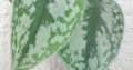 Philodendron scandens pictum Trebie_bew. Abl._große Blätter