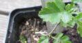 Weißdorn_Jungpflanze_Sämling_Pre-Bonsai_gebogener Wuchs