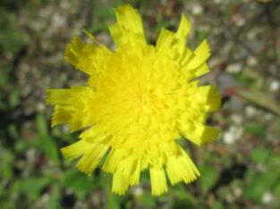 3x Kleines Habichtskraut_gelb_Hieracium pilosella_Heilpfl.