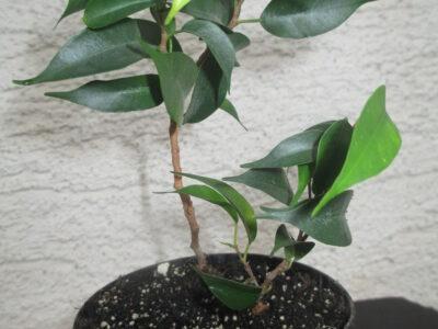 Ficus benjamina_benjamini_Birkenfeige_Zwergform_rar_selten