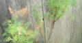 Junger Cola-Strauch_Cola -Pflanze_Artemisia abrotanum
