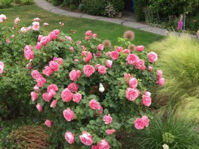 Komplettes Rosenbeet zu verkaufen ca. 30 Pflanzen