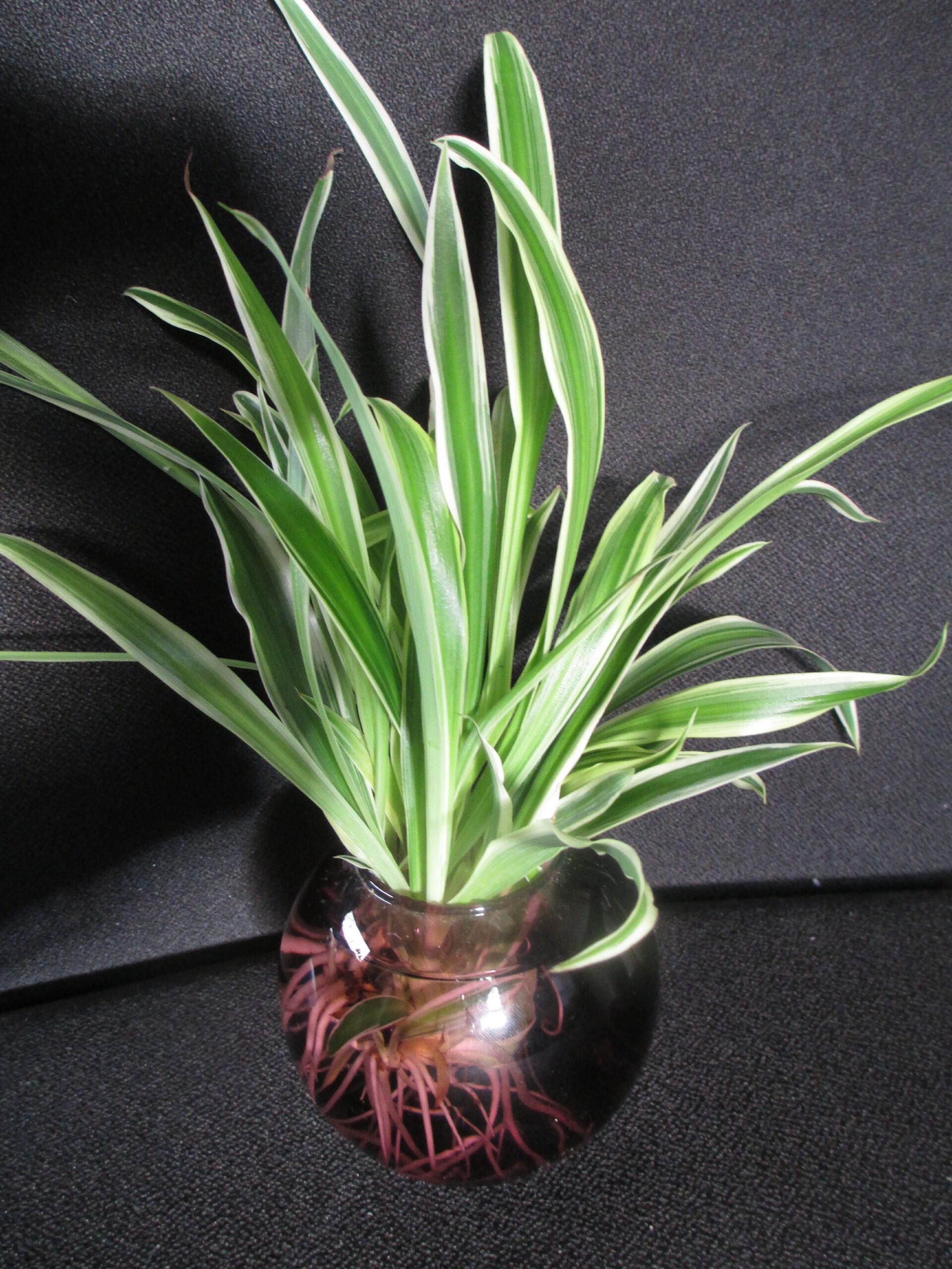 3 Grünlilien_weißer Rand_Grünlilie_sehr gut bew. Ableger