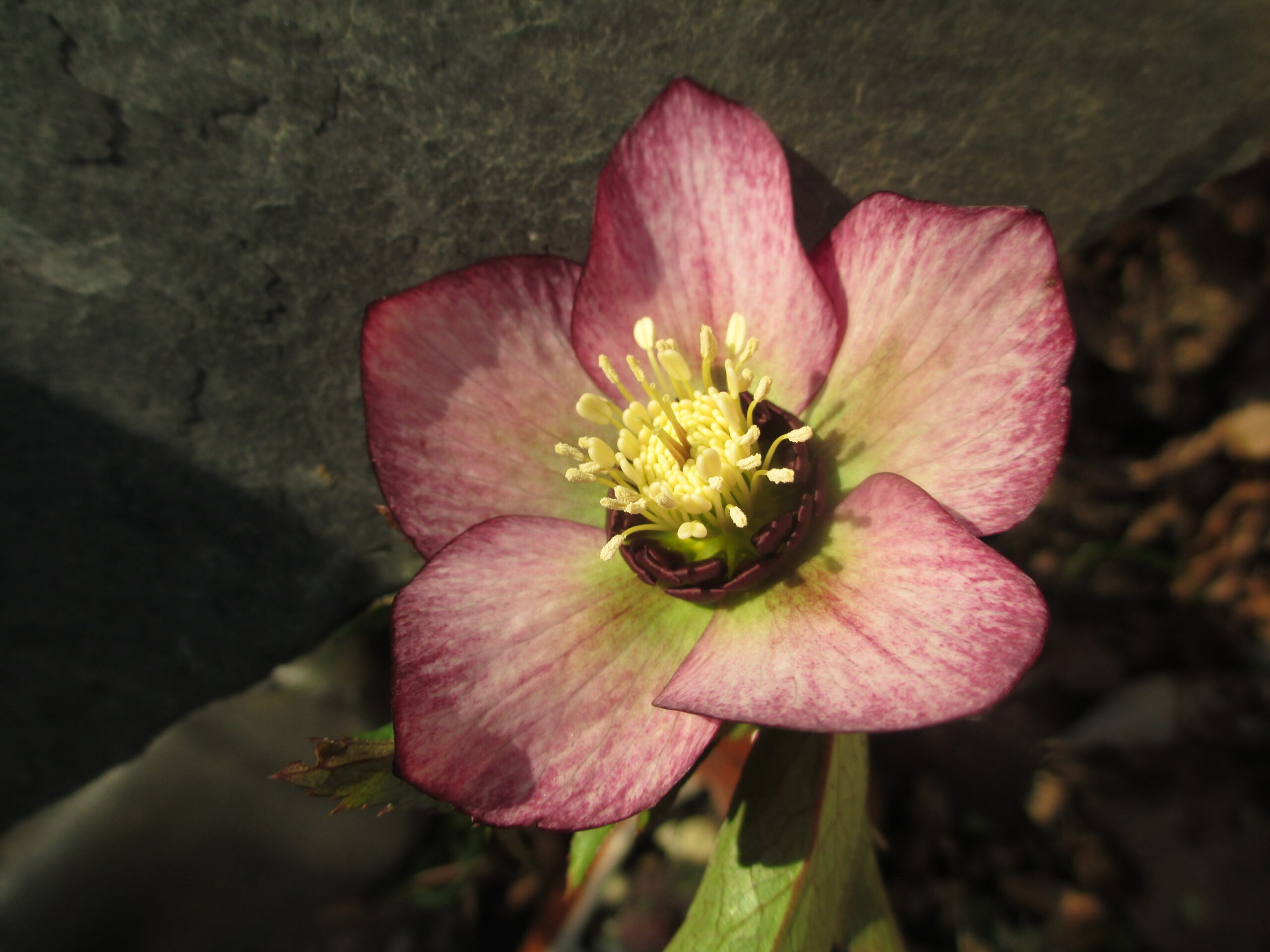 3 x Christrose_Lenzrose_Helleborus orientalis_Zufallsfarbe