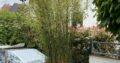 Grüner Bambus 2,50m Höhe in robusten ausbruchssicherem Topf