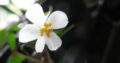 Begonia partita_dregei_Bonsai-Begonie_bew.Abl._bildet Caudex