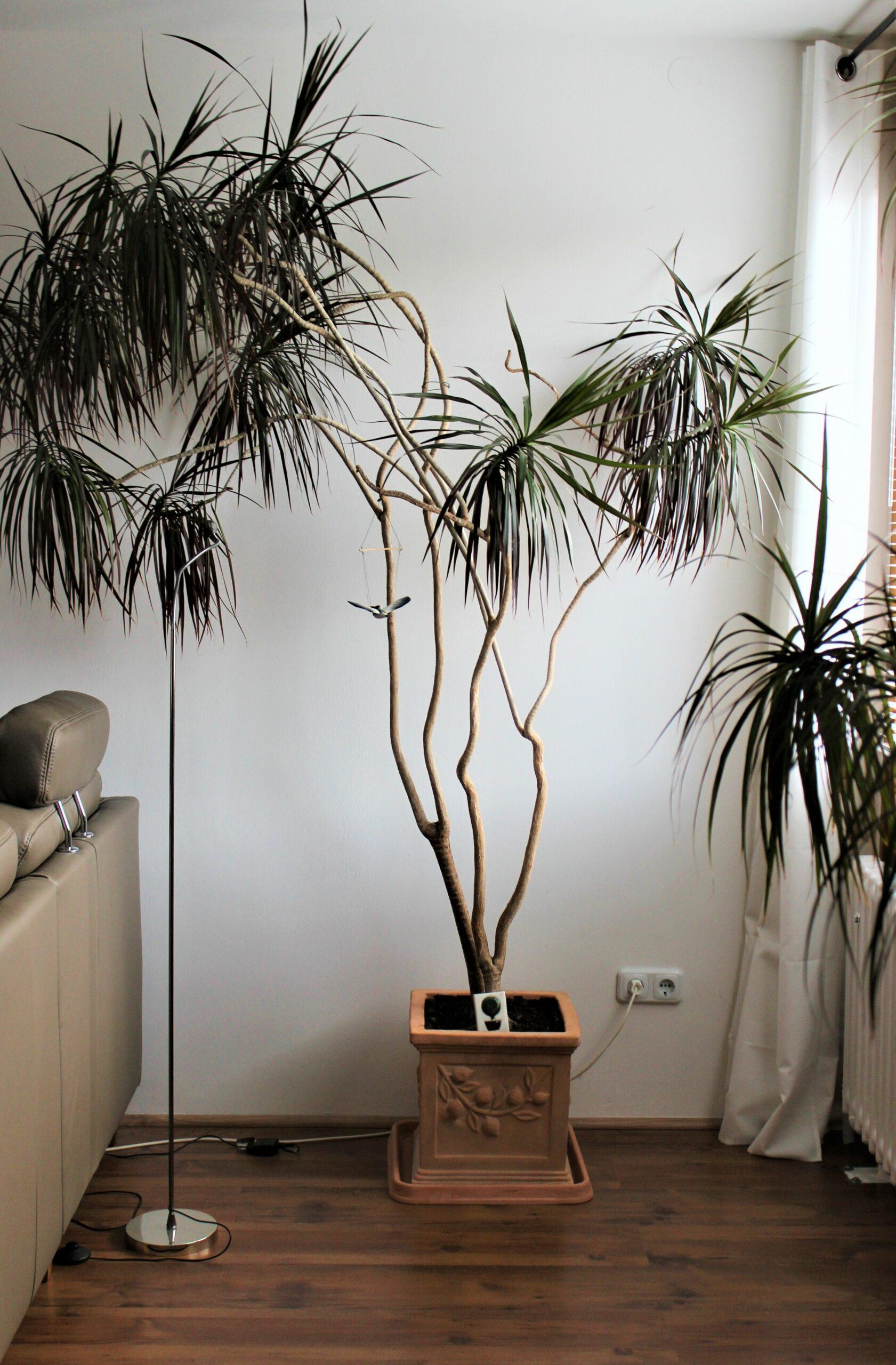 Drachenbaum+ 1 x Zimmerpflanze 2.50 Hoch. mit Terrakotta