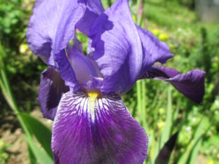 Deutsche Schwertlilie_Bartiris_Iris germanica_2farbig lila