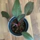 Philodendron Pink Princess PPP