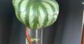 Peperomia Watermelon Ableger