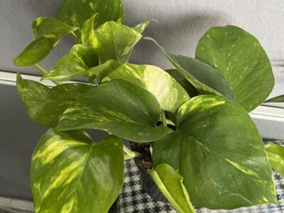 Große Efeutute Pflanze Nr. 2