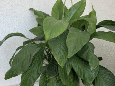 Schöne Einblattpflanze