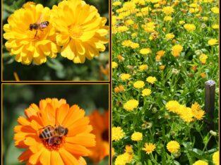 Bio-Saatgut-Ringelblumen – aus dem eigenen Naturgarten