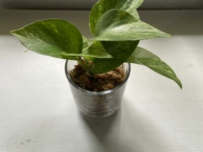 Efeutute Marble Queen Ableger
