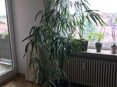 Ficus binnendijkii 'Alii' (Schmalblättrige Birkenfeige)