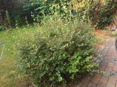 Herbst-Flieder (Pflanze) Garten Sichtschutz Busch