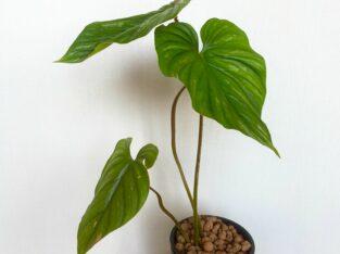 Philodendron Plowmanii 2