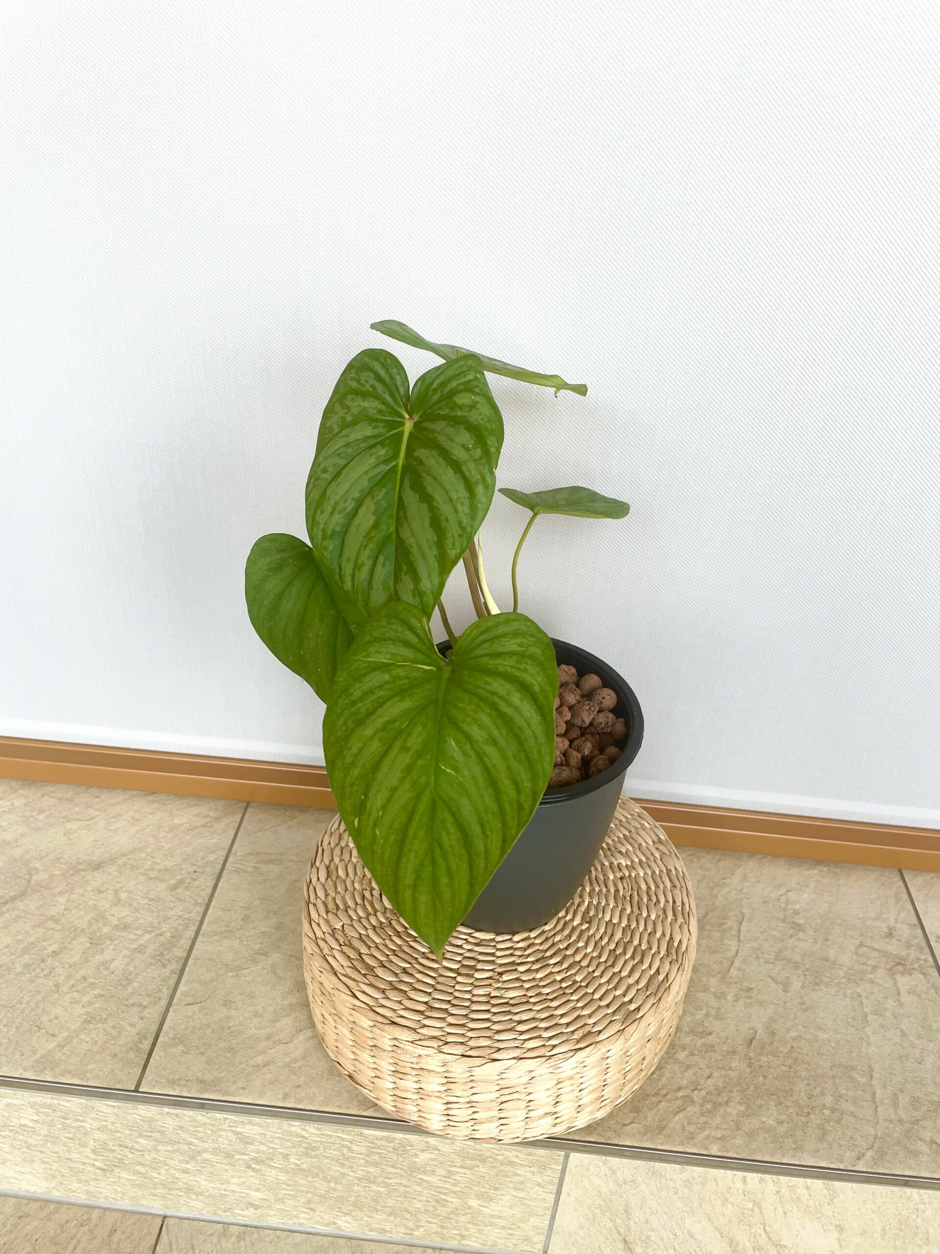 Philodendron Sodiroi Aff 2